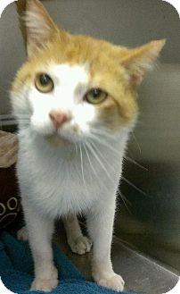 Domestic Shorthair Cat for adoption in Richboro, Pennsylvania - Danny Bonaduce