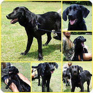 Retriever (Unknown Type)/Labrador Retriever Mix Dog for adoption in Inverness, Florida - JOEY