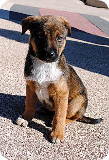 Bluetick Coonhound/German Shepherd Dog Mix Puppy for adoption in Phoenix, Arizona - Merry