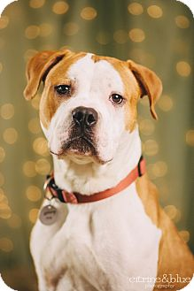 Pit Bull Terrier/English Bulldog Mix Dog for adoption in Portland, Oregon - Joey