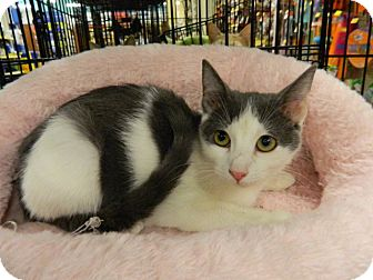 Domestic Shorthair Kitten for adoption in The Colony, Texas - Tina