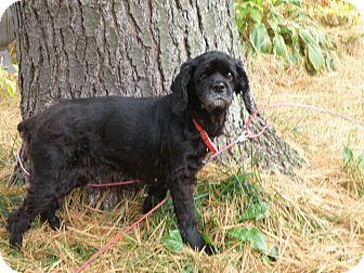 Cocker Spaniel Mix Dog for adoption in Brant, Ontario - Sophie