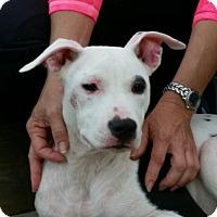 Adopt A Pet :: Shelley - Dacula, GA