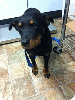 Rottweiler/Labrador Retriever Mix Dog for adoption in Darlington, South Carolina - Kayla