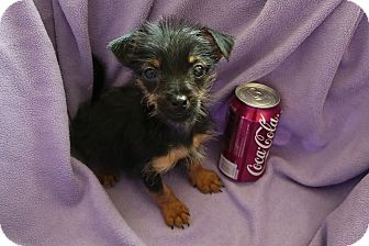 Terrier (Unknown Type, Small)/Chihuahua Mix Puppy for adoption in Mt. Sterling, Kentucky - AXEL