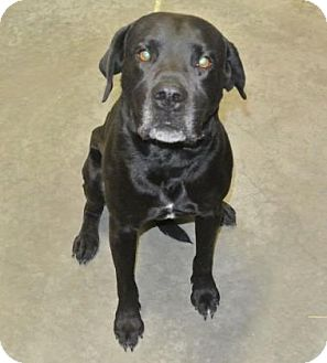 Labrador Retriever Mix Dog for adoption in Redmond, Oregon - Remington