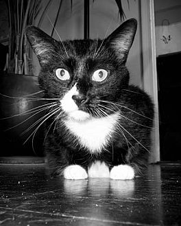 Domestic Shorthair Cat for adoption in Brooklyn, New York - XPost - Consuela