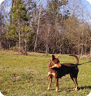 German Pinscher Dog for adoption in Jefferson, Texas - Sassy