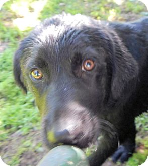 Labrador Retriever/Flat-Coated Retriever Mix Puppy for adoption in Westport, Connecticut - *Alonzo - PENDING