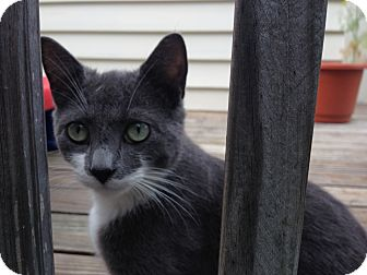 Russian Blue Kitten for adoption in Bronx, New York - Shadow