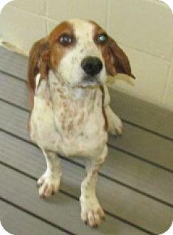 Hound (Unknown Type) Mix Dog for adoption in Aiken, South Carolina - HAMBONE
