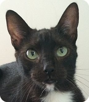 Domestic Shorthair Cat for adoption in Winchester, California - Bandit