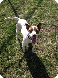 Pointer Mix Dog for adoption in East Hartford, Connecticut - Jazzy in CT