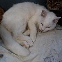Adopt A Pet :: Pee Wee - Live Oak, FL