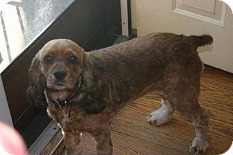 Cocker Spaniel Dog for adoption in Libertyville, Illinois - Karma