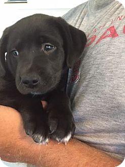 Labrador Retriever Mix Puppy for adoption in Shallotte, North Carolina - Mora