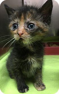 Domestic Shorthair Kitten for adoption in Wayne, New Jersey - Kalista