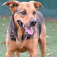 German Shepherd Dog Mix Dog for adoption in Newport Beach, California - Buddy Blue
