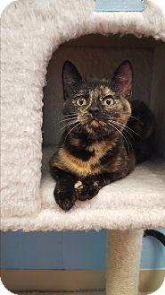 Domestic Shorthair Kitten for adoption in Circleville, Ohio - Jill