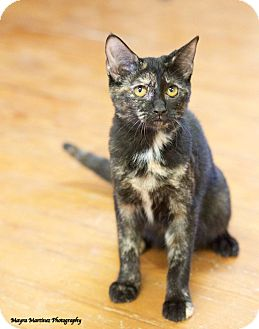 Domestic Shorthair Kitten for adoption in Huntsville, Alabama - Black Canary