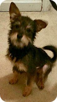 Yorkie, Yorkshire Terrier/Schnauzer (Miniature) Mix Puppy for adoption in PARSIPPANY, New Jersey - PEANUT