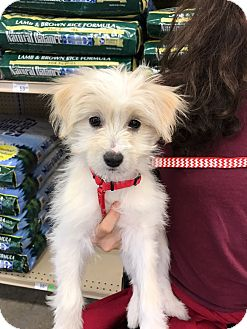 Terrier (Unknown Type, Small)/Poodle (Miniature) Mix Puppy for adoption in Studio City, California - Tesla
