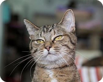 Domestic Shorthair Cat for adoption in Columbus, Ohio - Vickie