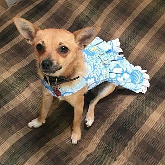 Terrier (Unknown Type, Small)/Chihuahua Mix Dog for adoption in Encino, California - Bubbles