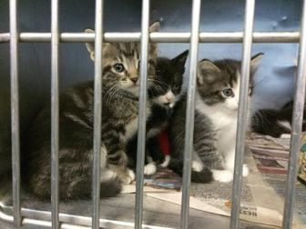 American Shorthair/Domestic Shorthair Mix Kitten for adoption in Los Lunas, New Mexico - 35867696