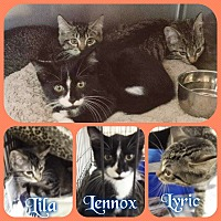 Adopt A Pet :: Lyric Lila - Buffalo, IN