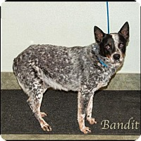 Adopt A Pet :: Bandit - Ada, OK