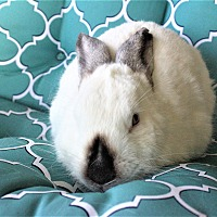 Adopt A Pet :: Catelyn - Hillside, NJ