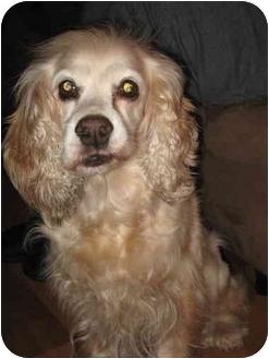 Cocker Spaniel Dog for adoption in Long Beach, New York - Betty