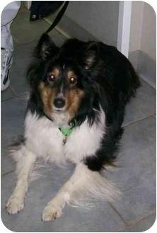 Sheltie, Shetland Sheepdog Dog for adoption in Oak Ridge, New Jersey - Lady