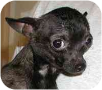 Chihuahua Dog for adoption in Warren, New Jersey - Bean