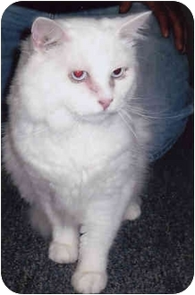 Domestic Longhair Cat for adoption in Owatonna, Minnesota - Tommy