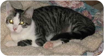 Domestic Shorthair Cat for adoption in Cincinnati, Ohio - Eddie