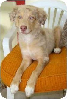 faith adopted dog haughton la golden retriever catahoula leopard dog mix