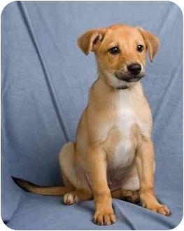 Dachshund Mix Puppy for adoption in Anna, Illinois - WILBUR