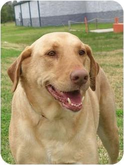 Labrador Retriever Dog for adoption in Kingwood, Texas - Trooper