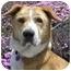 Photo 2 - St. Bernard/Labrador Retriever Mix Dog for adoption in West Los Angeles, California - Tucker