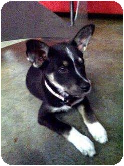 Australian Cattle Dog/Shepherd (Unknown Type) Mix Puppy for adoption in Houston, Texas - Shelby