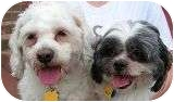 Shih Tzu/Maltese Mix Dog for adoption in Norwalk, Connecticut - Rosie & Colby