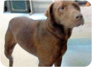 Labrador Retriever Mix Dog for adoption in Houston, Texas - Coco