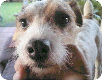 Jack Russell Terrier Dog for adoption in Miami, Florida - Cooper