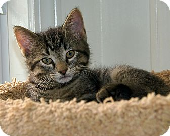 Domestic Shorthair Kitten for adoption in Victor, New York - Max