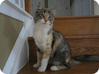 Maine Coon Cat for adoption in Easley, South Carolina - Tessa