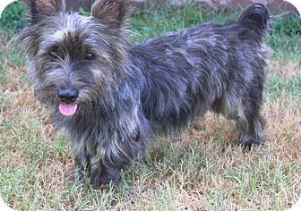 Terrier (Unknown Type, Small)/Scottie, Scottish Terrier Mix Dog for adoption in Westport, Connecticut - *Murdoch - PENDING