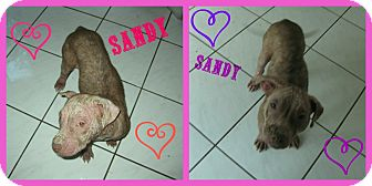 American Pit Bull Terrier/American Bulldog Mix Puppy for adoption in Orlando, Florida - Sandy