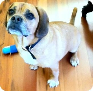 Pug/Bulldog Mix Dog for adoption in Millersville, Maryland - Zachary